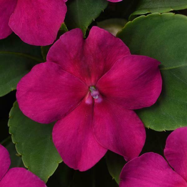 Impatiens Beacon® Violet Shades