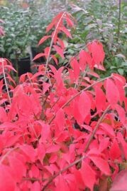 Dwarf Burning Bush, Euonymus