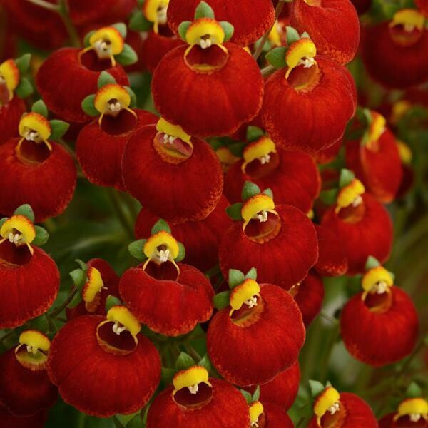 Calynopsis, Red Calceolaria