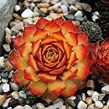 Succulent, Chick Charms Gold Nugget