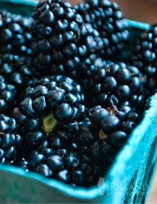 Darrow Blackberry Plant