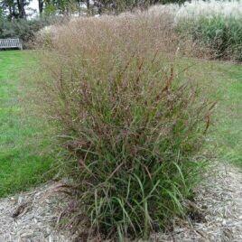 Grass, Switch Grass, Shenandoah