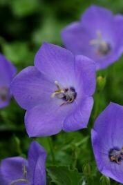 Bellflower, Rapido Blue