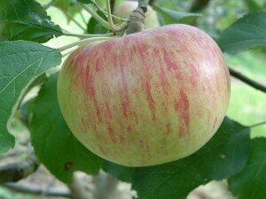 Wolf River Apple Tree