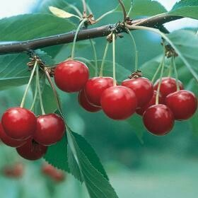 NorthStar Cherry Tree
