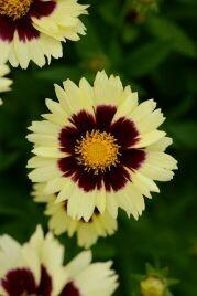 Coreopsis, Uptick Yellow & Red