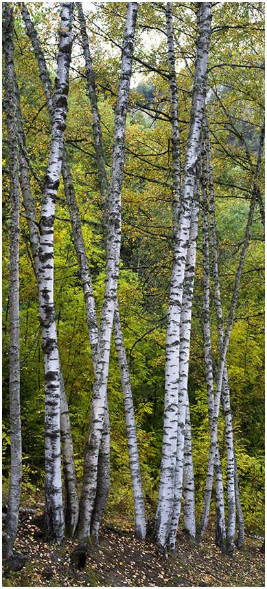 Birch forest - bosco di betulle
