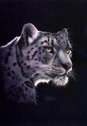 Snow Leopard on Black