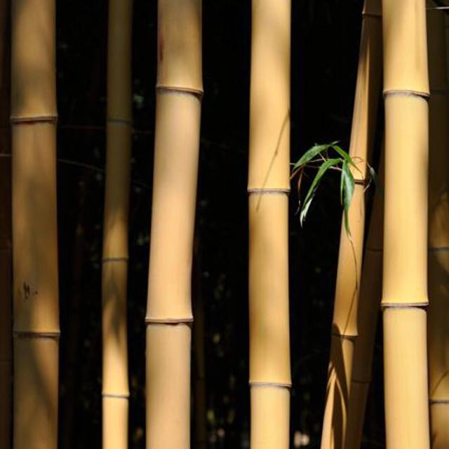 Phyllostachys bambousoides Holocrysa 200 cm