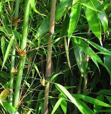 Fargesia robusta wolong