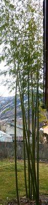 Phyllostachys vivax huanwenzhu