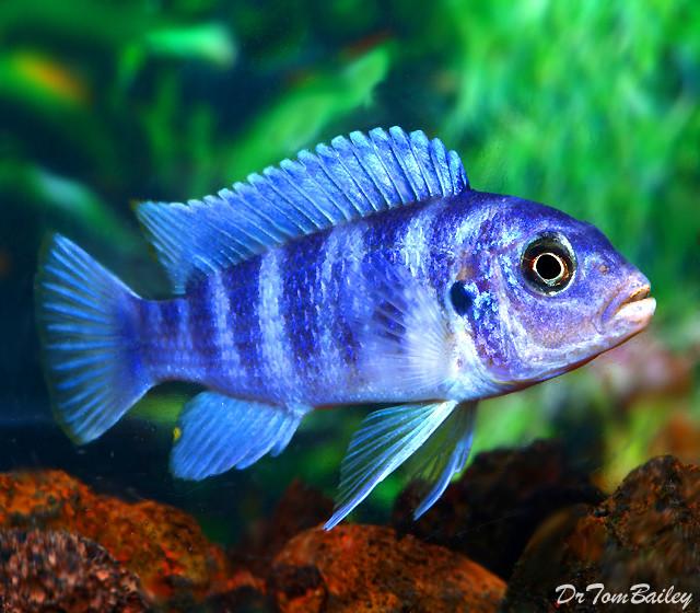 "Premium Kenyi Mbuna Cichlid from Lake Malawi, Size: 1.5"" to 2"""