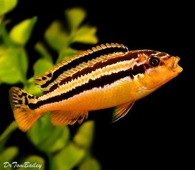 Premium FEMALE Malawi Melanochromis Auratus Mbuna Cichlid