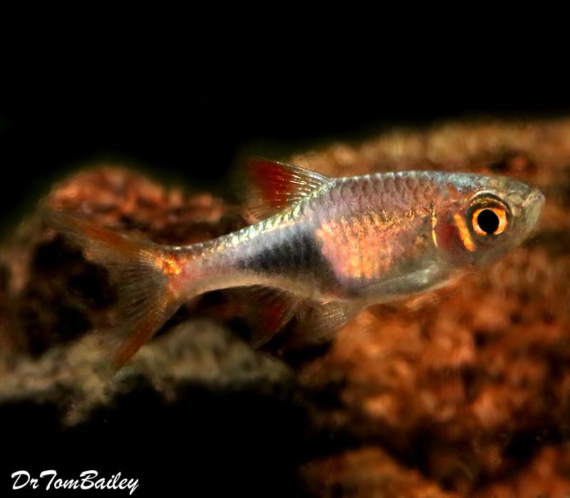 "Premium Lambchop Rasbora, Nano Fish, Size: 0.75"" to 1"""