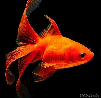 Premium Red Fantail Goldfish, Size: 2.5