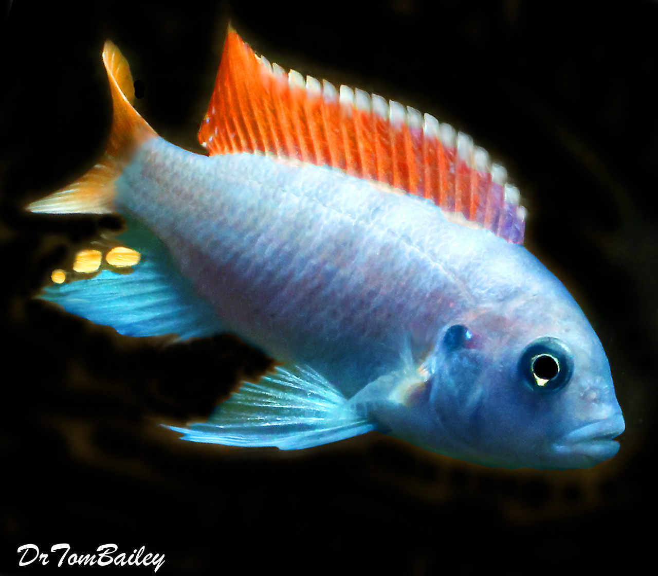 """Premium Red Top Zebra Mbuna from Lake Malawi in Africa, Size: 3.5"""" to 4"""""""