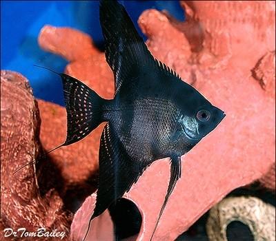 Premium Black Angelfish, Size: 1