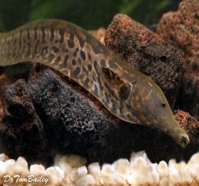Premium New and Rare, Ossa Knifefish, Size: 7