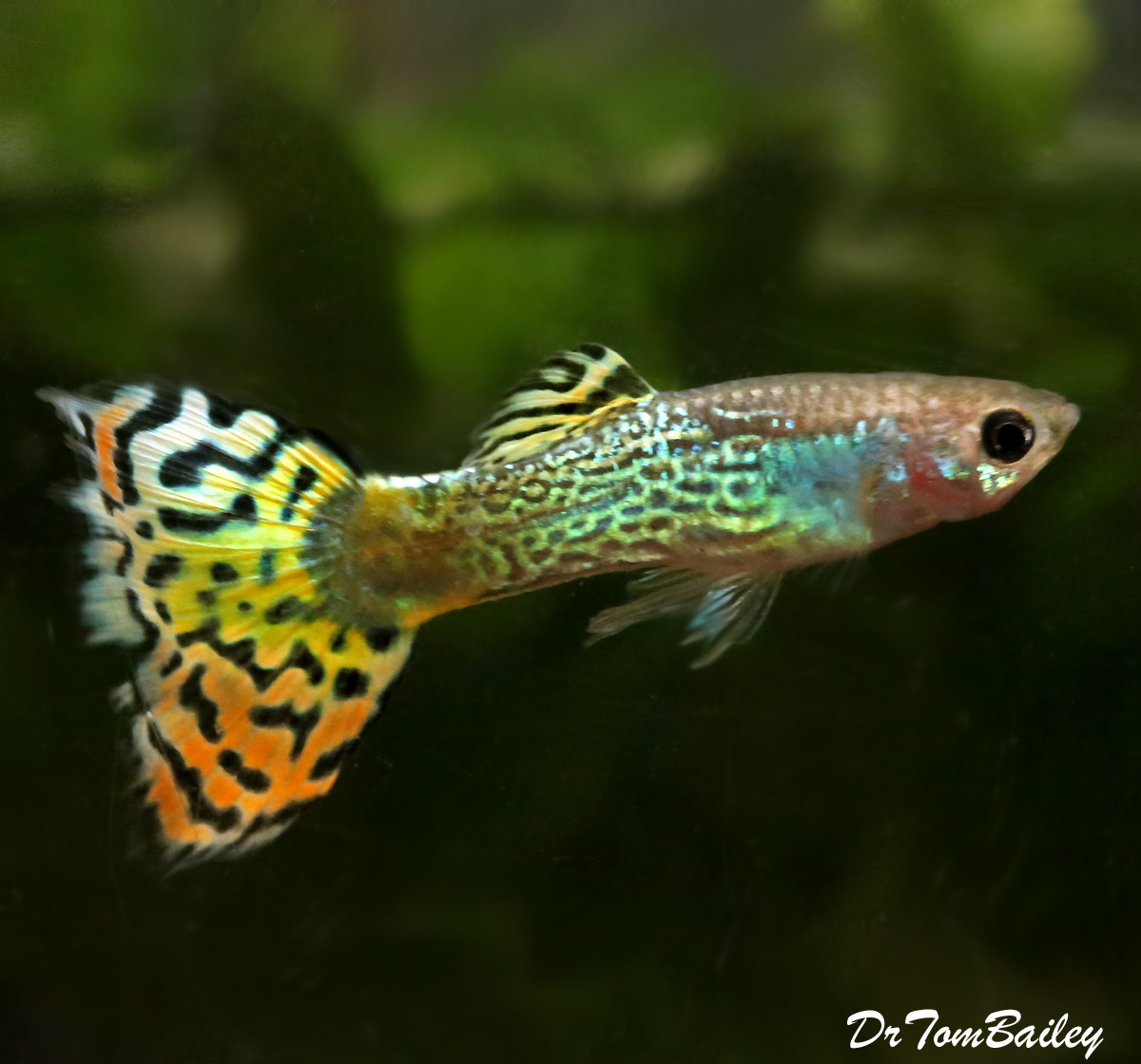 "Premium MALE Variegated Cobra Fancy Guppy, Size: 1"" to 1.5"""