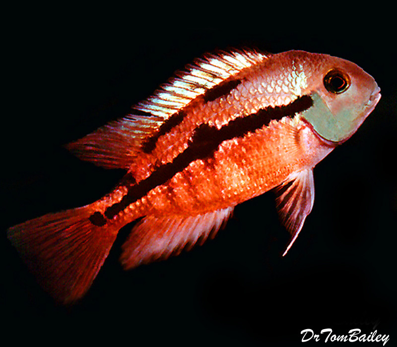 "Premium Sunset Nicaragua Cichlid, Size: 2"" to 2.5"""