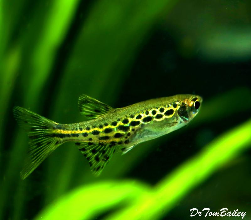 """Premium New and Rare, Gold Ring Danio, Nano Fish, Size: 1"""" to 1.2"""""""