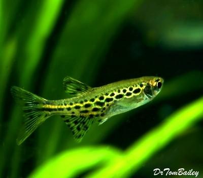 Premium New and Rare, Gold Ring Danio, Nano Fish, Size: 1