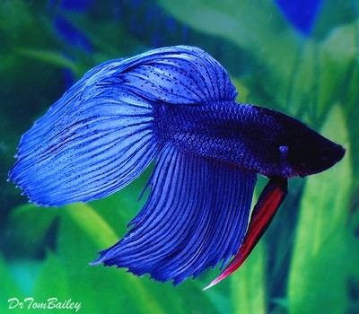 Premium MALE Blue Betta Fish, Size: 2.5