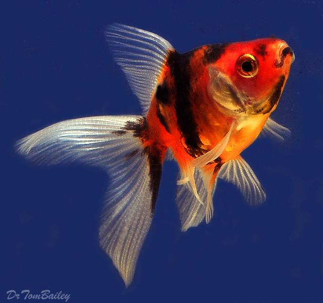 "Premium Calico Fantail Goldfish, Size: 1"" to 1.5"""