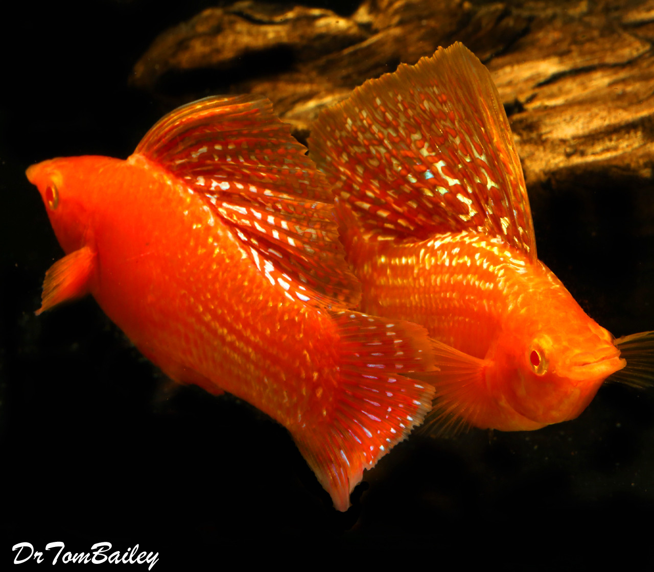 """Premium MALE, Rare and New, Red Sunset Sailfin Molly, Size: 1.5"""" to 2"""""""
