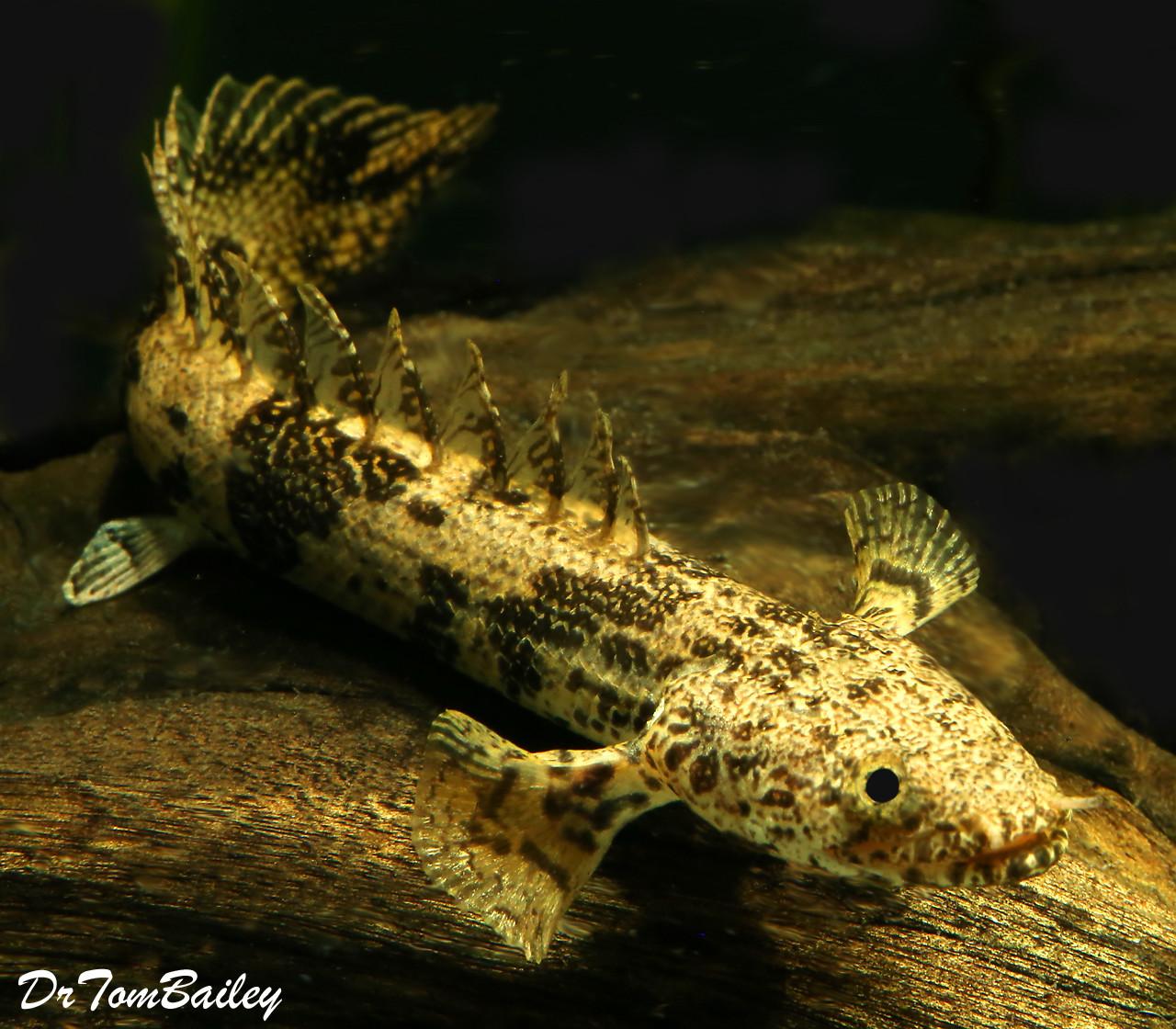"Premium Rare Saddled Bichir, Polypterus endlicheri, Size: 2.5"" to 3"""
