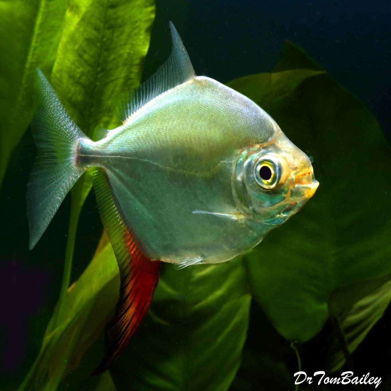 "Premium Red Hook Silver Dollar Fish, Myloplus Rubripinnis, Size: 3"" to 3.5"""