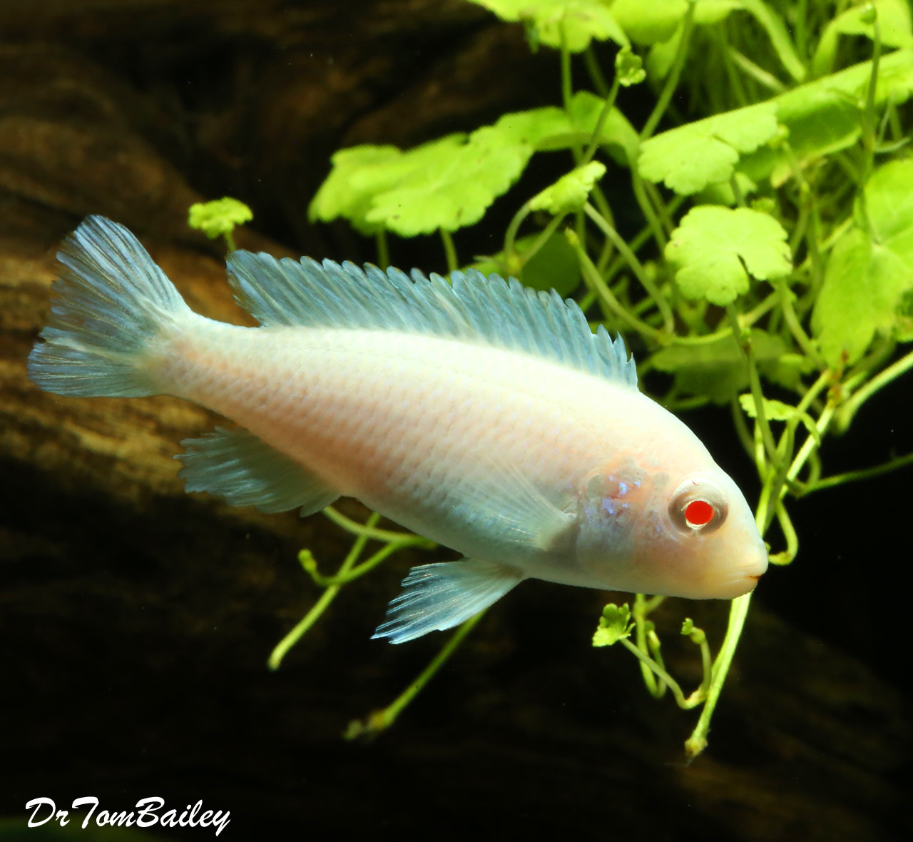 "Premium Snow White Socolofi Mbuna Cichlid from Lake Malawi, Size: 2"" to 2.5"""