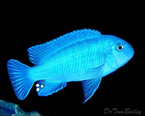 "Premium Socolofi Mbuna Cichlid from Lake Malawi, Size: 1.5"" to 2"""