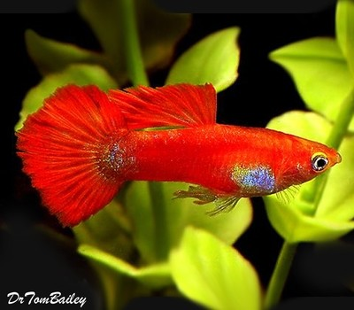 Premium MALE Coral Red Fancy Guppy, Size: 1