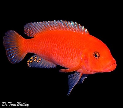 Premium Red Zebra Mbuna Cichlid from Lake Malawi in Africa, Size: 2