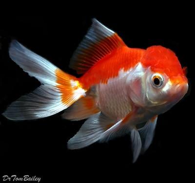 Premium Red & White Oranda Goldfish, Size: 2