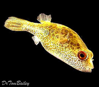 Premium Ocellated Pufferfish, Size: 2