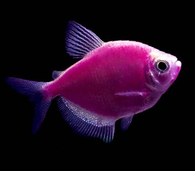 Premium Galactic Very-Purple GloFish Tetra, Size: 1
