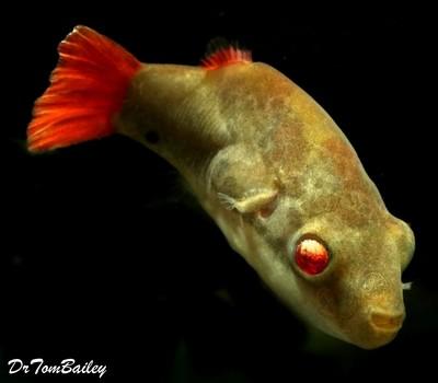 Premium MALE Freshwater Redtail Red-Eye Dwarf Pufferfish, Size: 1