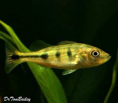 Premium Ocellaris Peacock Bass Cichlid, Grows to be very Large, Size: 1.5