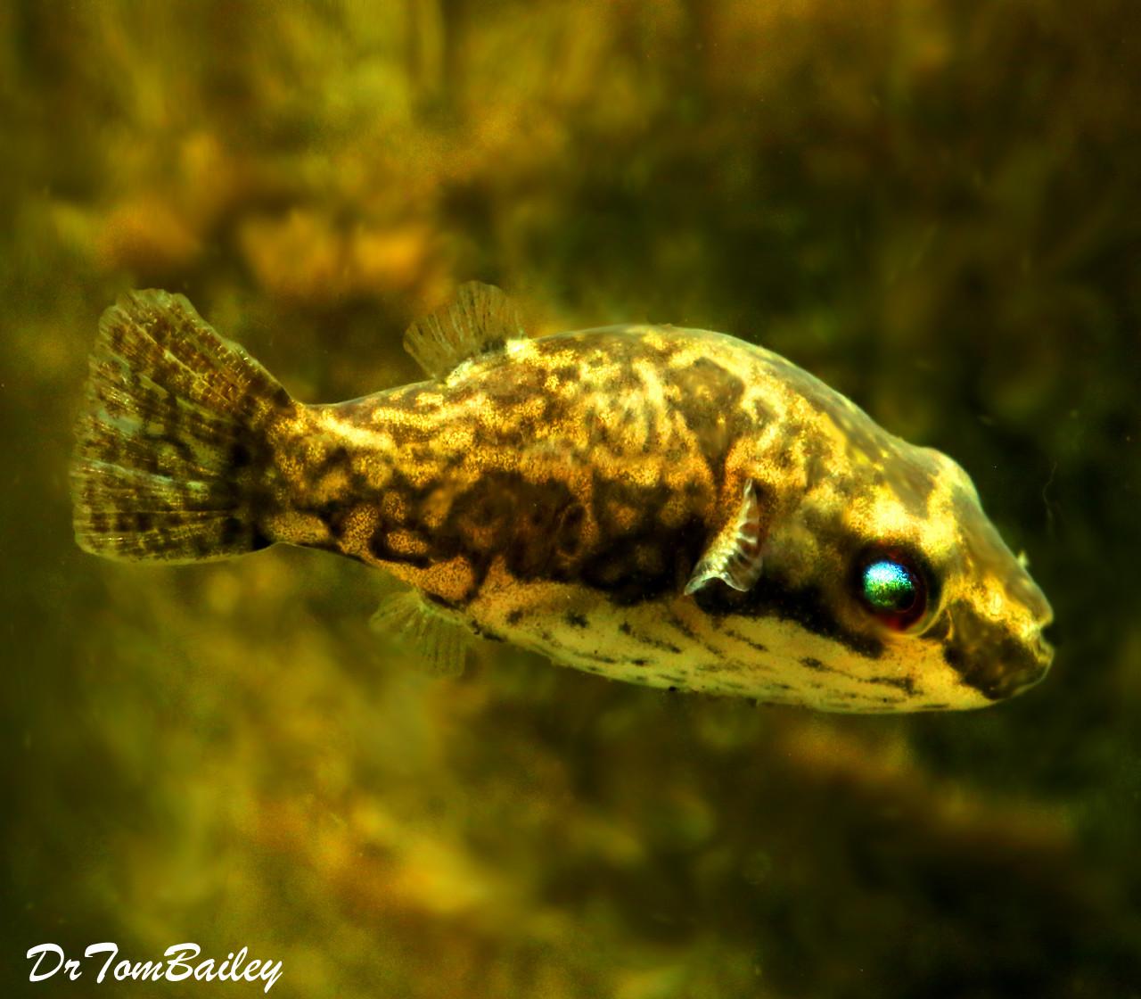 "Premium FEMALE Freshwater Redtail Red-Eye Dwarf Pufferfish, Size: 1"" to 1.2"""