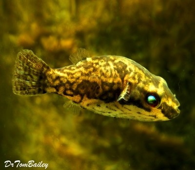 Premium FEMALE Freshwater Redtail Red-Eye Dwarf Pufferfish, Size: 1