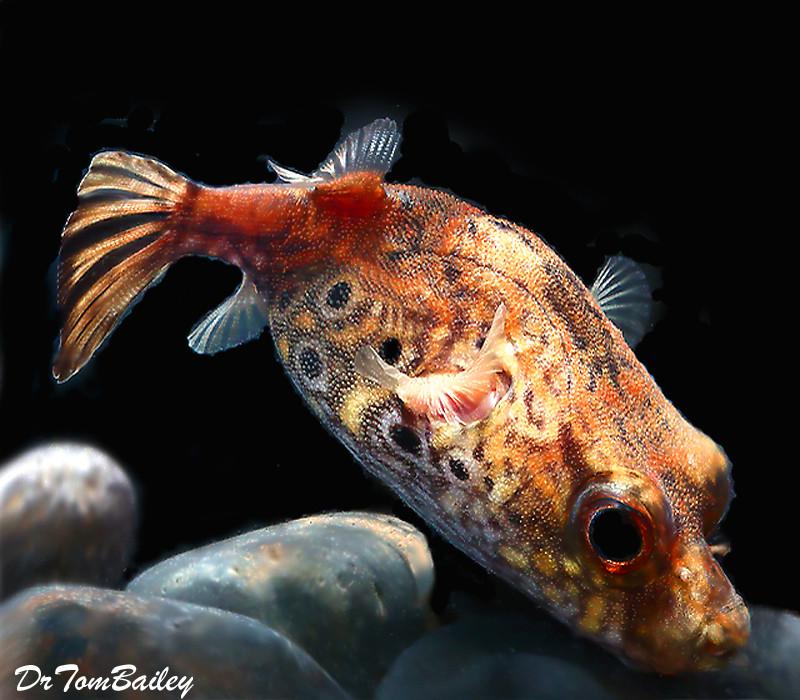 "Premium Rare Freshwater Dragon Pufferfish, Size: 3"" to 3.5"""