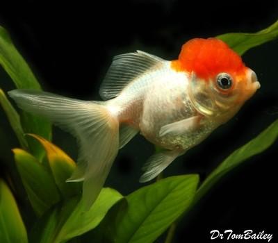 Premium Red Cap Oranda Goldfish, Size: 3