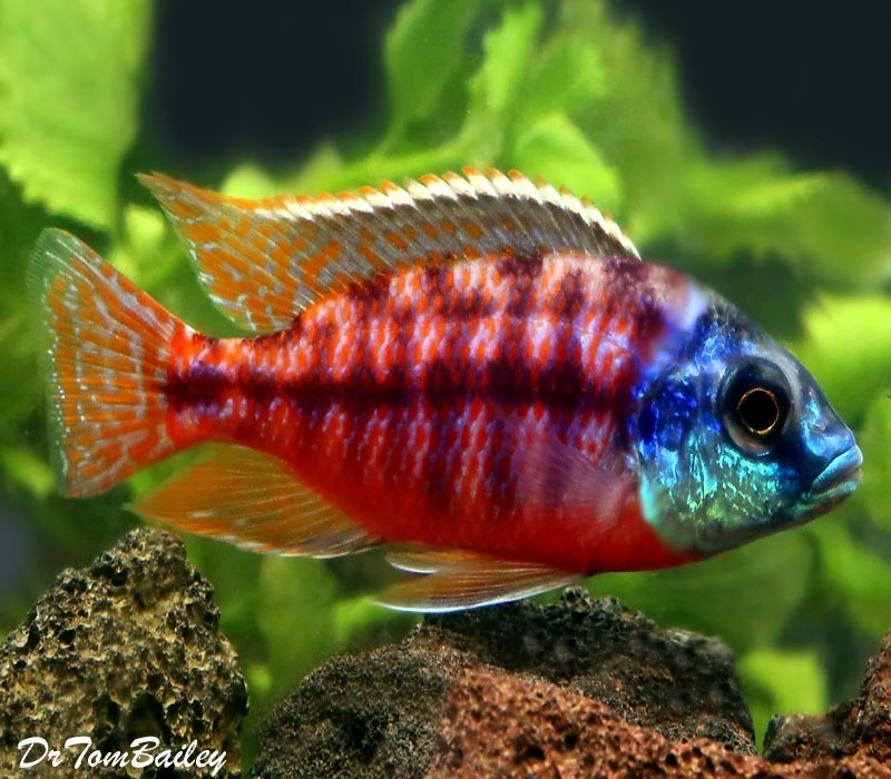 """BABY Red Empress Hap Cichlid from Lake Malawi, 1"""" to 1.5"""" long, in our Tank E-68"""