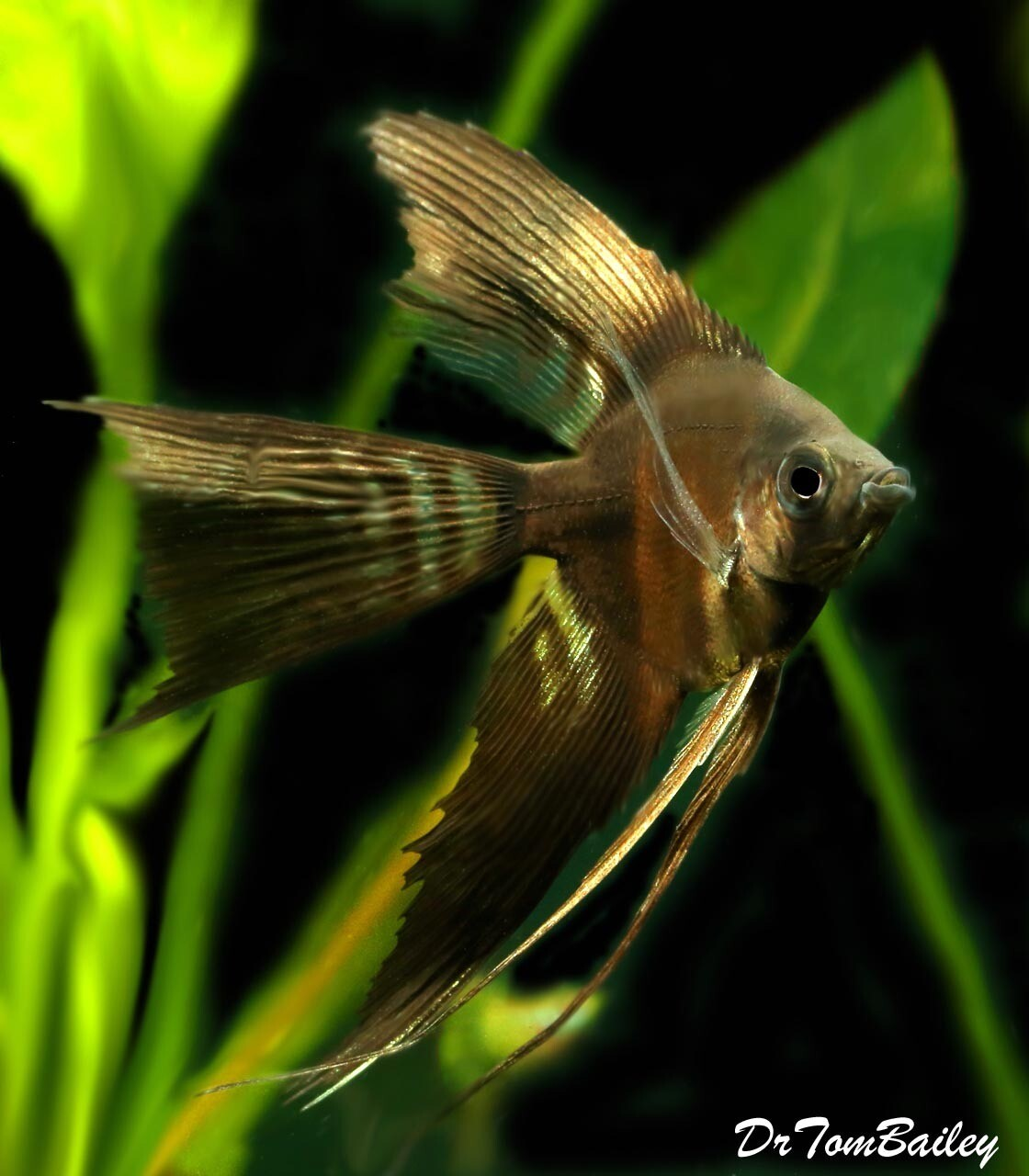 "Premium Black Veiltail Angelfish, Size: 3"" to 3.5"""