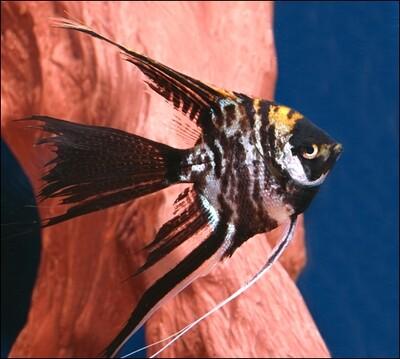 Premium Marbled Veiltail Angelfish, Size: 1.5