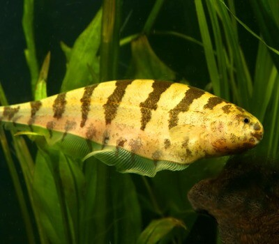 Premium Rare WILD, Barred Knifefish, Steatogenys elegans, Size: 7