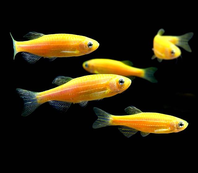 """Premium Sunburst Orange GloFish Danio, Size: 1"""" to 1.2"""""""