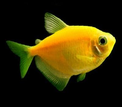 Premium Sunburst Orange GloFish Tetra, Size: 1